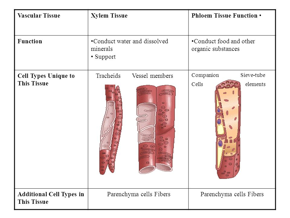 Vascular TissueXylem TissuePhloem Tissue Function FunctionConduct water and dissolved minerals Support Conduct food and other organic substances Cell