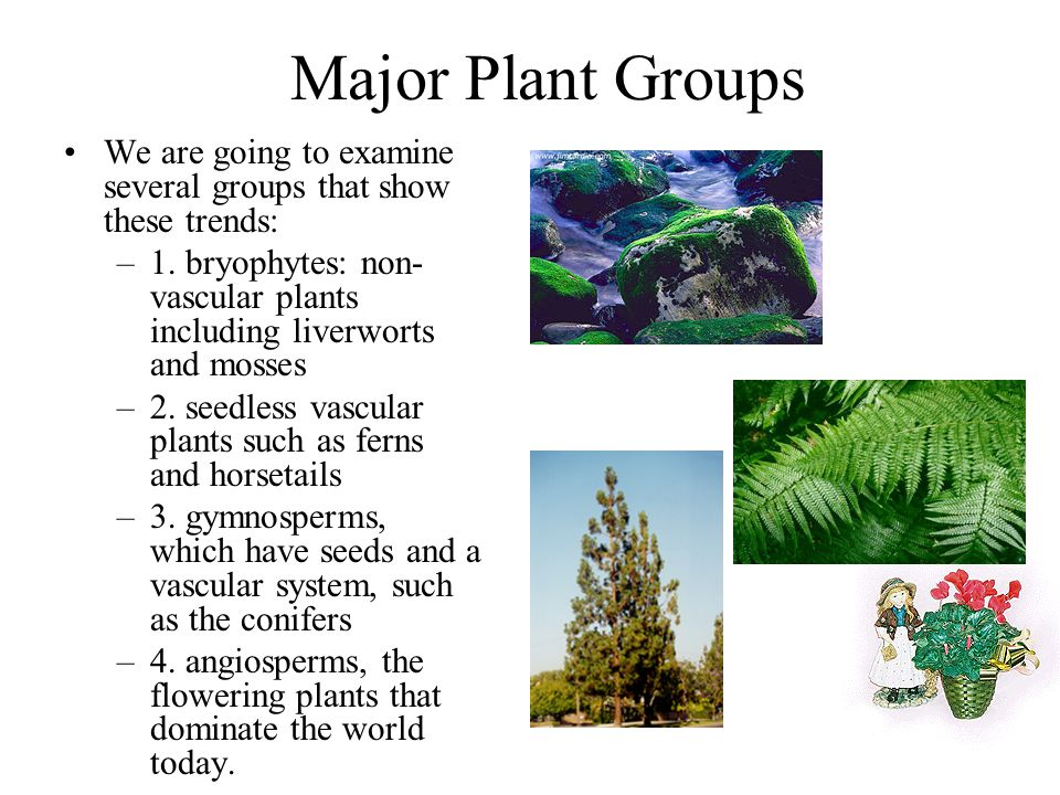 Major Plant Groups We are going to examine several groups that show these trends: –1. bryophytes: non- vascular plants including liverworts and mosses