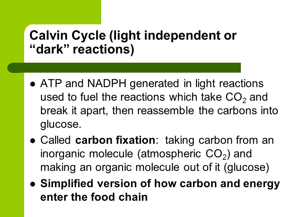 Calvin Cycle (light independent or dark reactions) ATP and NADPH generated in light reactions used to fuel the reactions which take CO 2 and break it apart, then reassemble the carbons into glucose.