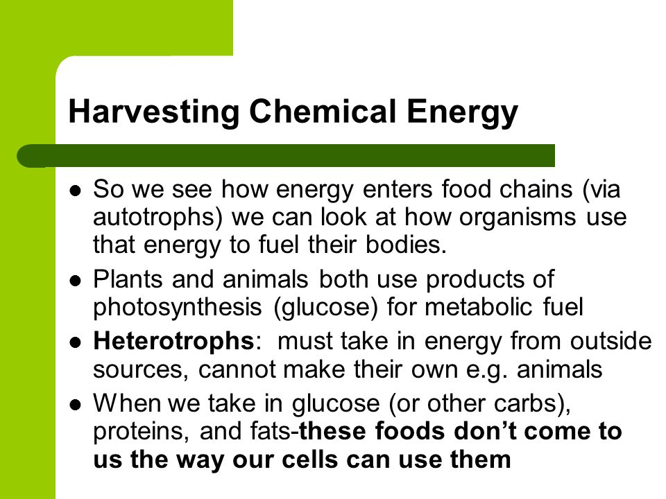 Harvesting Chemical Energy So we see how energy enters food chains (via autotrophs) we can look at how organisms use that energy to fuel their bodies.