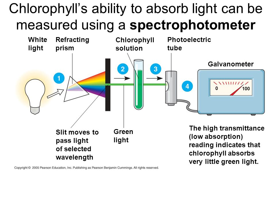 Chlorophyll's ability to absorb light can be measured using a spectrophotometer White light Refracting prism Chlorophyll solution Photoelectric tube Galvanometer The high transmittance (low absorption) reading indicates that chlorophyll absorbs very little green light.