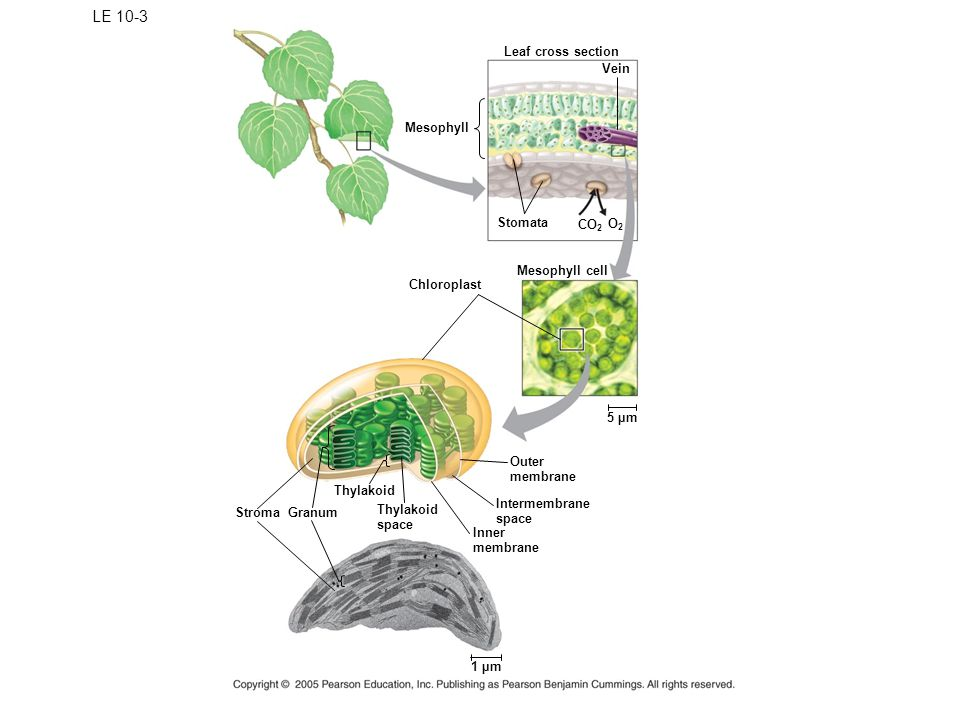 LE 10-3 Leaf cross section Vein Mesophyll Stomata CO 2 O2O2 Mesophyll cell Chloroplast 5 µm Outer membrane Intermembrane space Inner membrane Thylakoid space Thylakoid GranumStroma 1 µm