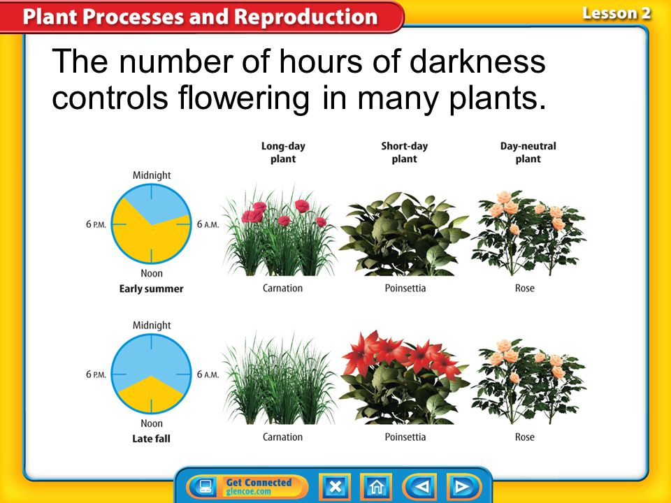 Lesson 2-2 Short-day plants require 12 or more hours of darkness for flowering to begin. Day-neutral plants flower when they reach maturity and the en