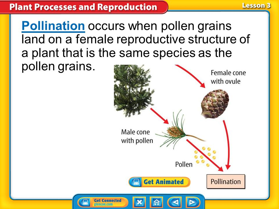 Lesson 3-4 A pollen grain forms in a male reproductive structure of a seed plant.pollen grain Pollen grains produce sperm cells which can be carried t