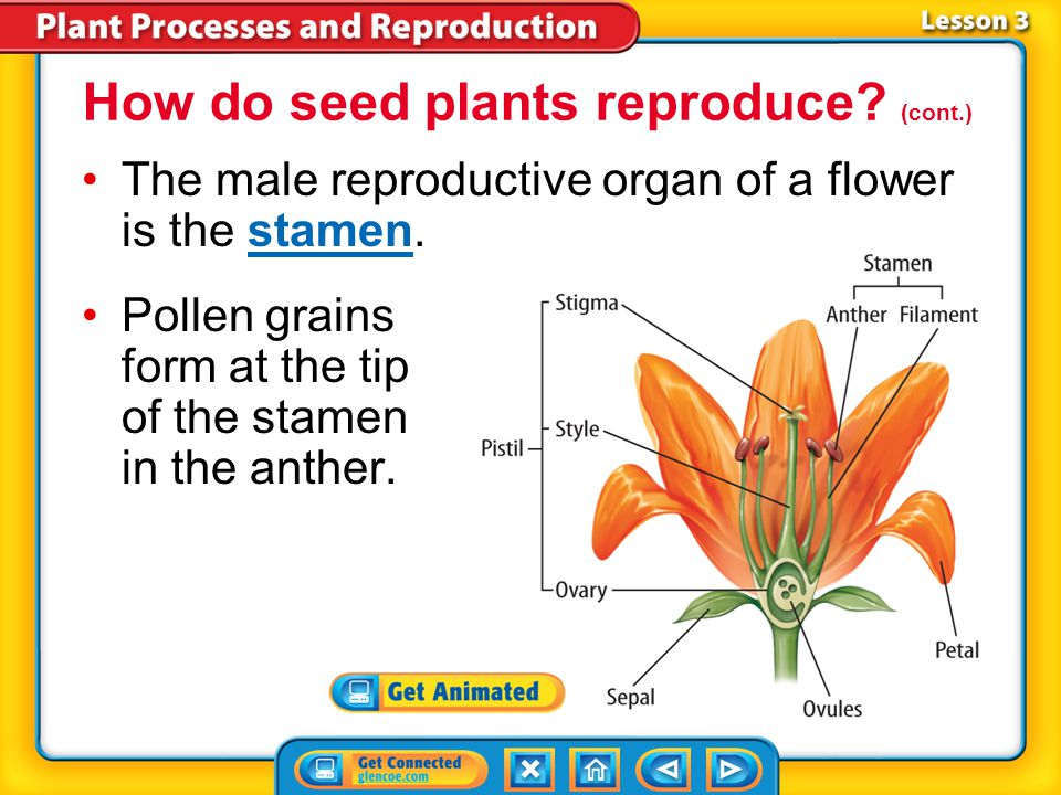 Lesson 3-4 Flowering seed plants are called angiosperms. Reproduction of an angiosperm begins in a flower, most of which have male and female reproduc