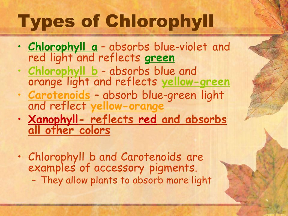Types of Chlorophyll Chlorophyll a – absorbs blue-violet and red light and reflects green Chlorophyll b - absorbs blue and orange light and reflects yellow-green Carotenoids – absorb blue-green light and reflect yellow-orange Xanophyll- reflects red and absorbs all other colors Chlorophyll b and Carotenoids are examples of accessory pigments.
