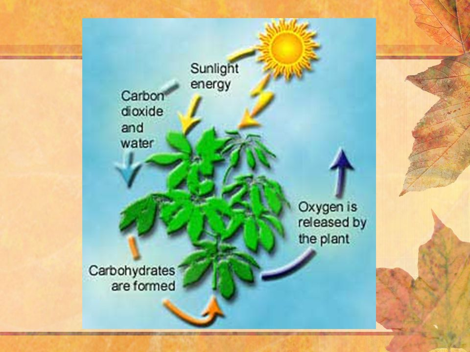 Photosynthesis –Occurs in plants, algae, many types of protists, and some bacteria (a) Plants (b) Multicellular algae (c) Unicellular protist 10  m 40  m (d) Cyanobacteria 1.5  m (e) Purple sulfur bacteria