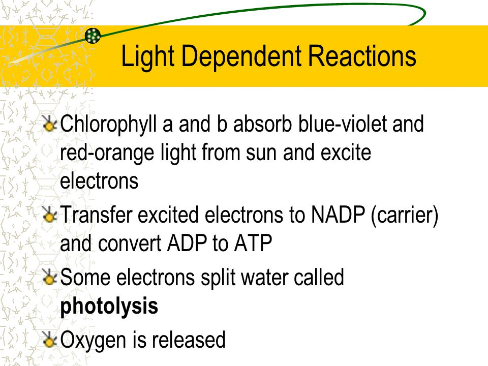Light-dependent reactions Requires light Take place in the grana of chloroplast Store energy in high energy molecules – ATP – NADPH