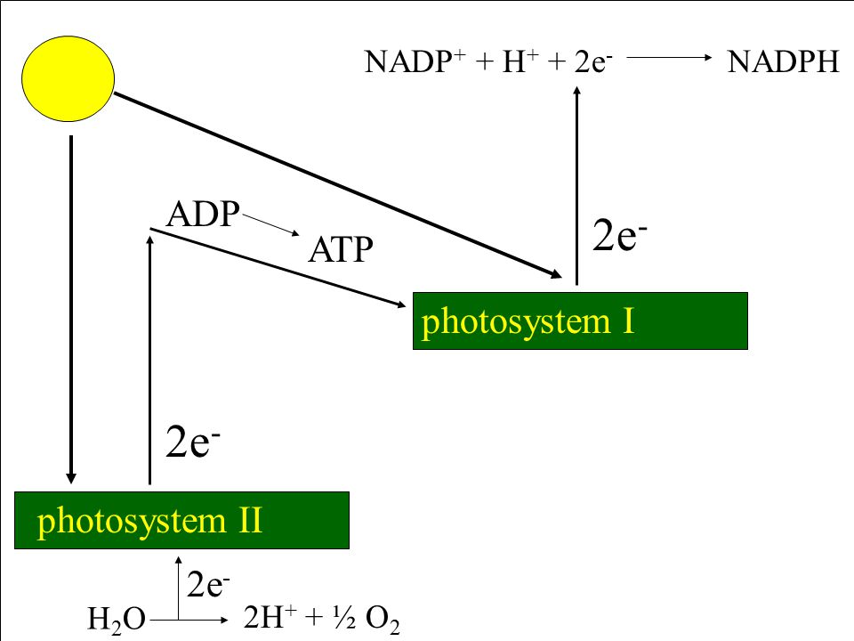 Light Dependent Reactions Chlorophyll a and b absorb blue-violet and red-orange light from sun and excite electrons Transfer excited electrons to NADP (carrier) and convert ADP to ATP Some electrons split water called photolysis Oxygen is released