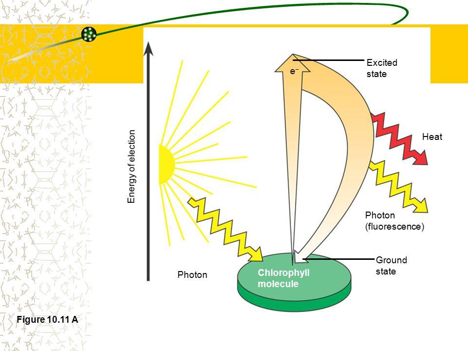photosystem II photosystem I H2OH2O 2H + + ½ O 2 2e - ADP ATP 2e - NADP + + H + + 2e - NADPH