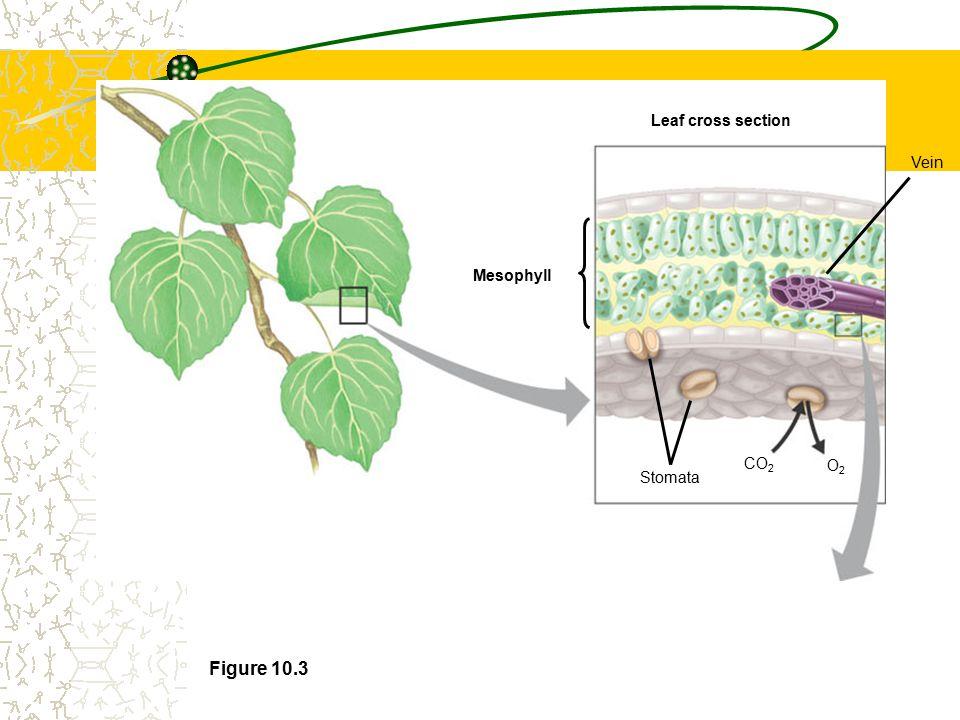 Photosynthesis vs Cellular Respiration Photosynthesis: 6CO 2 + 12H 2 O Light C 6 H 12 O 6 + 6O 2 + 6H 2 O Respiration: C 6 H 12 O 6 + 6O 2 + 6H 2 O6CO