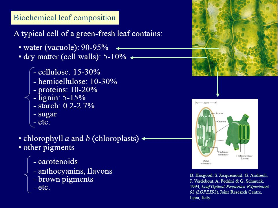 Biochemical leaf composition water (vacuole): 90-95% dry matter (cell walls): 5-10% - cellulose: 15-30% - hemicellulose: 10-30% - proteins: 10-20% - lignin: 5-15% - starch: 0.2-2.7% - sugar - etc.