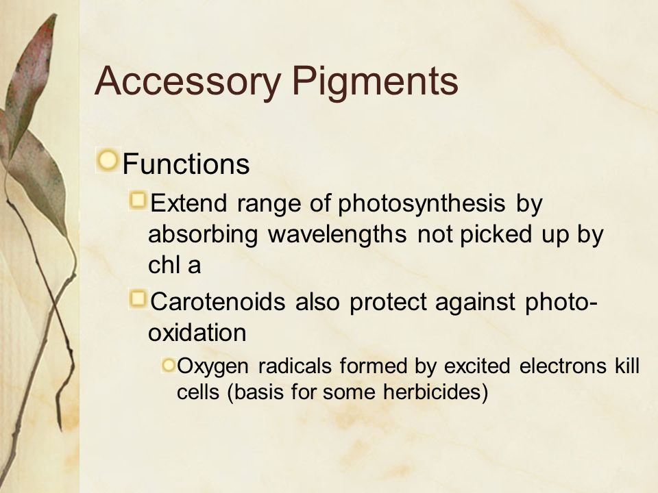 Accessory Pigments Functions Extend range of photosynthesis by absorbing wavelengths not picked up by chl a Carotenoids also protect against photo- oxidation Oxygen radicals formed by excited electrons kill cells (basis for some herbicides)