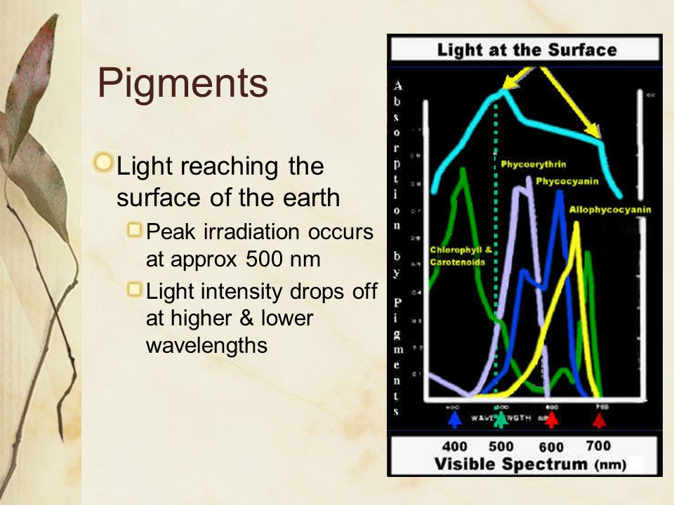 Pigments Light reaching the surface of the earth Peak irradiation occurs at approx 500 nm Light intensity drops off at higher & lower wavelengths