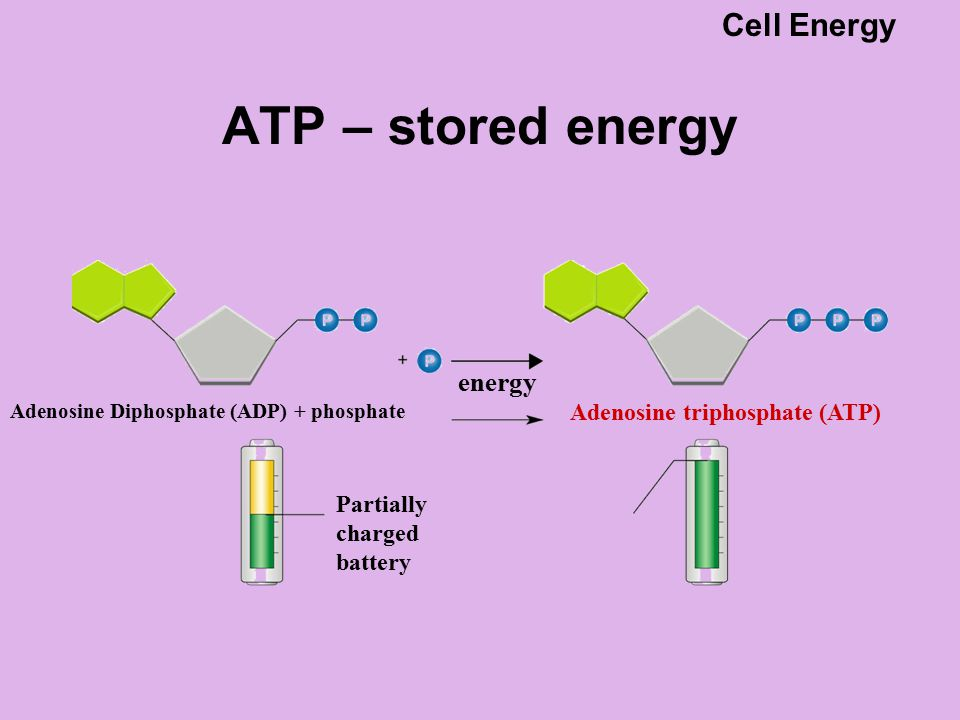 ATP – stored energy Adenosine Diphosphate (ADP) + phosphate Partially charged battery Adenosine triphosphate (ATP) energy Cell Energy