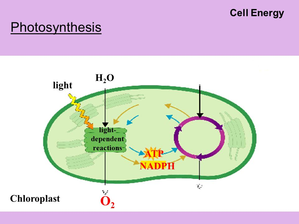 Chloroplast light- dependent reactions light H2OH2O O2O2 ATP NADPH Photosynthesis Cell Energy