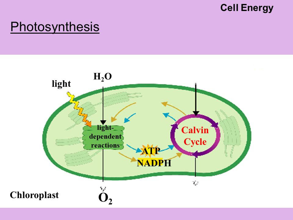 Chloroplast light- dependent reactions light H2OH2O O2O2 ATP NADPH Calvin Cycle Photosynthesis Cell Energy