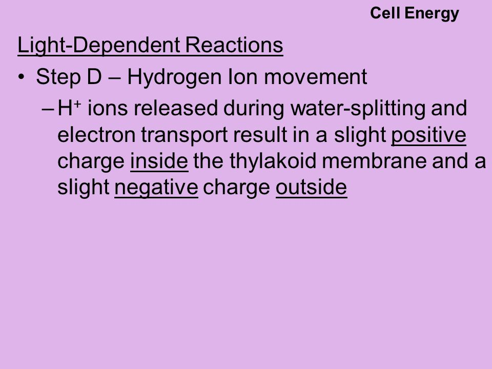 Step D – Hydrogen Ion movement –H + ions released during water-splitting and electron transport result in a slight positive charge inside the thylakoi