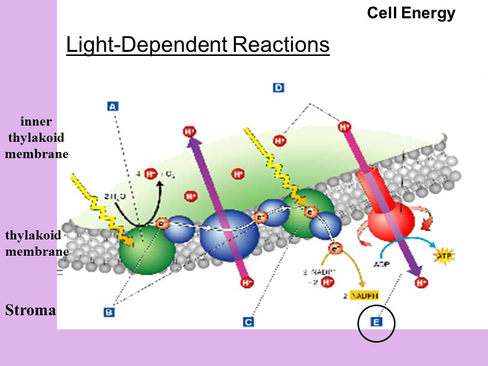 Stroma inner thylakoid membrane thylakoid membrane Cell Energy Light-Dependent Reactions