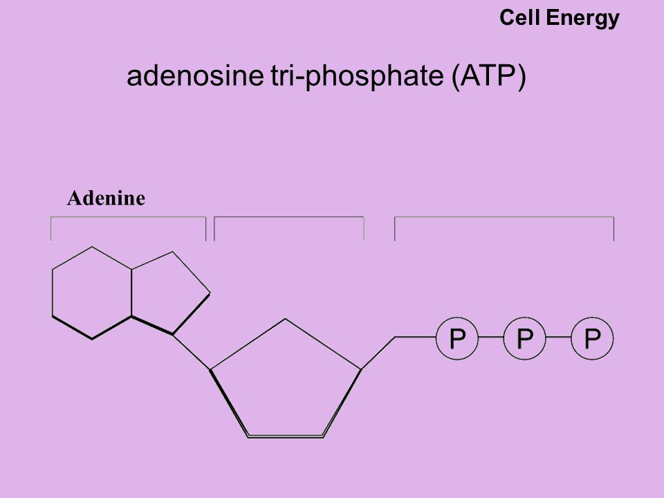 Releasing energy from ATP the energy stored in ATP is released when ATP is converted to ADP and a phosphate group.