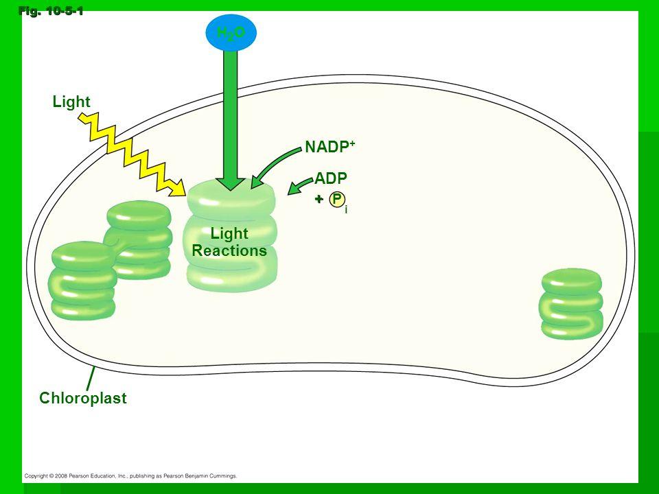 Light Fig. 10-5-1 H2OH2O Chloroplast Light Reactions NADP + P ADP i +