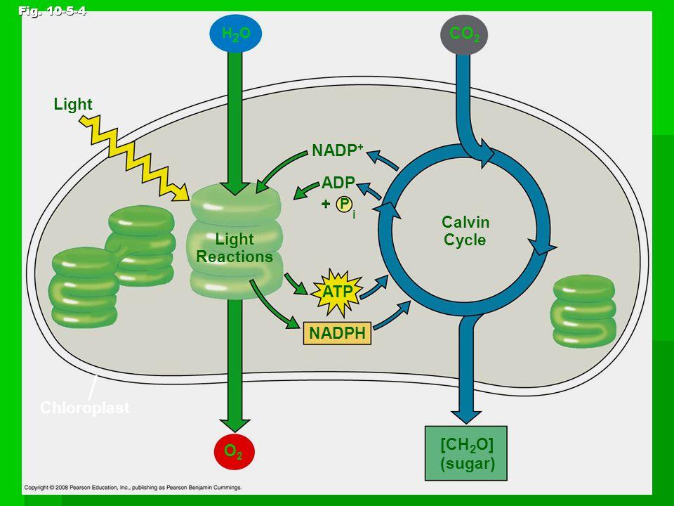 Light Fig. 10-5-4 H2OH2O Chloroplast Light Reactions NADP + P ADP i + ATP NADPH O2O2 Calvin Cycle CO 2 [CH 2 O] (sugar)