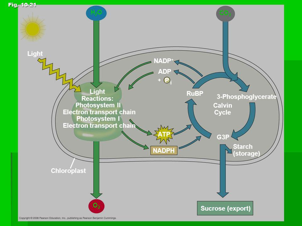 Fig. 10-21 Light Reactions: Photosystem II Electron transport chain Photosystem I Electron transport chain CO 2 NADP + ADP P i + RuBP 3-Phosphoglycera