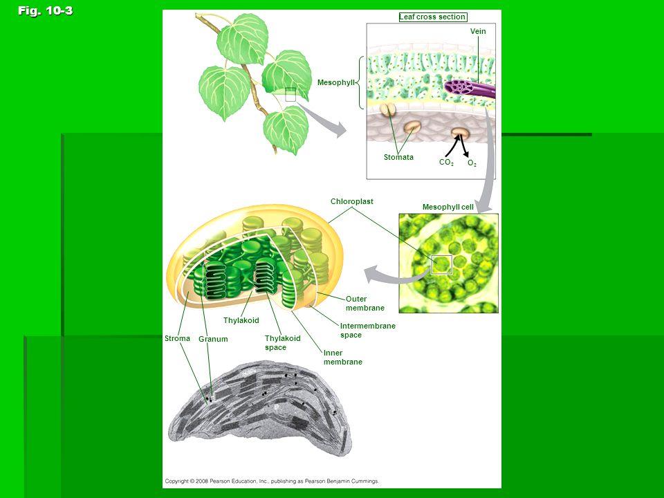 Fig. 10-3 Leaf cross section Vein Mesophyll Stomata CO 2 O2O2 Chloroplast Mesophyll cell Outer membrane Intermembrane space 5 µm Inner membrane Thylak
