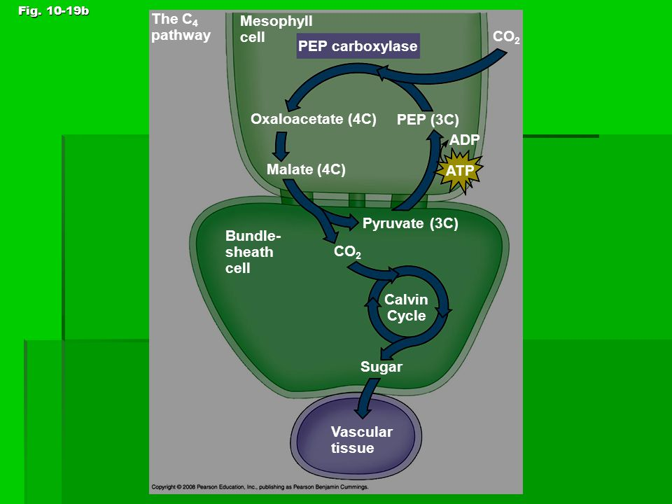 Fig. 10-19b Sugar CO 2 Bundle- sheath cell ATP ADP Oxaloacetate (4C) PEP (3C) PEP carboxylase Malate (4C) Mesophyll cell CO 2 Calvin Cycle Pyruvate (3