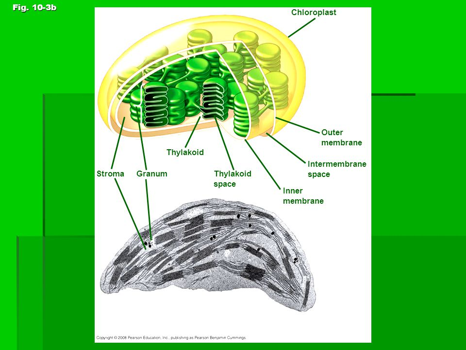 Chloroplasts – contain chlorophyll  Chloroplasts are double membrane organelles.