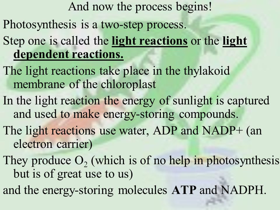 And now the process begins. Photosynthesis is a two-step process.