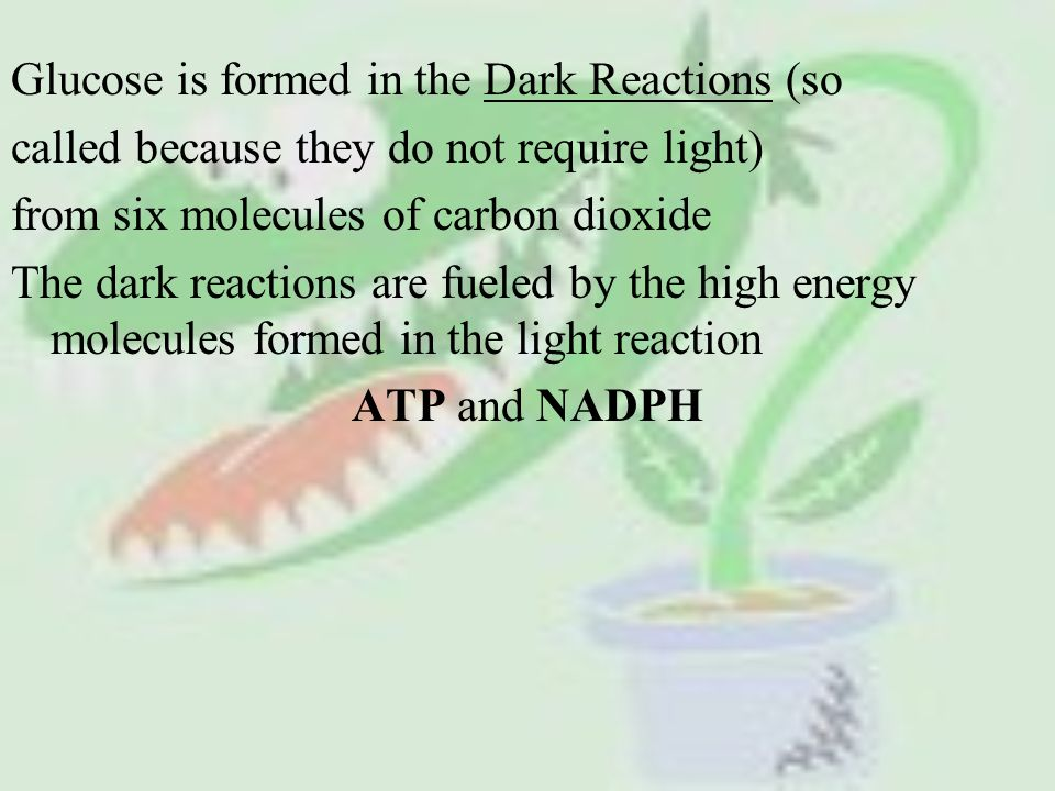 Glucose is formed in the Dark Reactions (so called because they do not require light) from six molecules of carbon dioxide The dark reactions are fueled by the high energy molecules formed in the light reaction ATP and NADPH