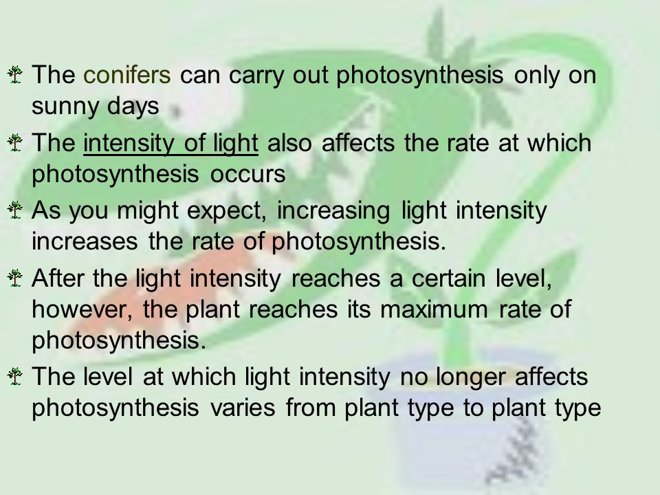 The conifers can carry out photosynthesis only on sunny days The intensity of light also affects the rate at which photosynthesis occurs As you might expect, increasing light intensity increases the rate of photosynthesis.