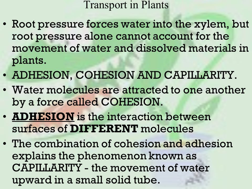 Transport in Plants Root pressure forces water into the xylem, but root pressure alone cannot account for the movement of water and dissolved materials in plants.