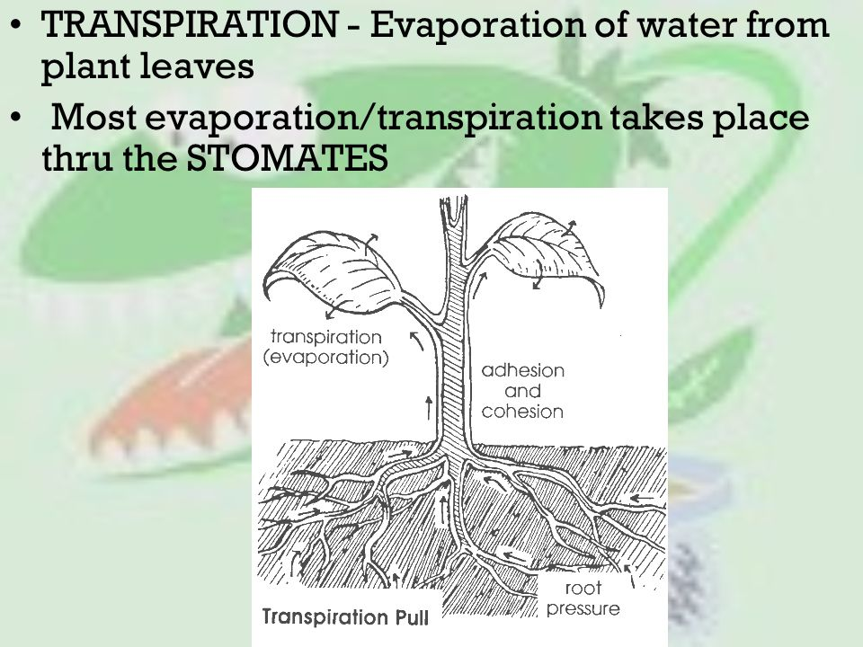 TRANSPIRATION - Evaporation of water from plant leaves Most evaporation/transpiration takes place thru the STOMATES