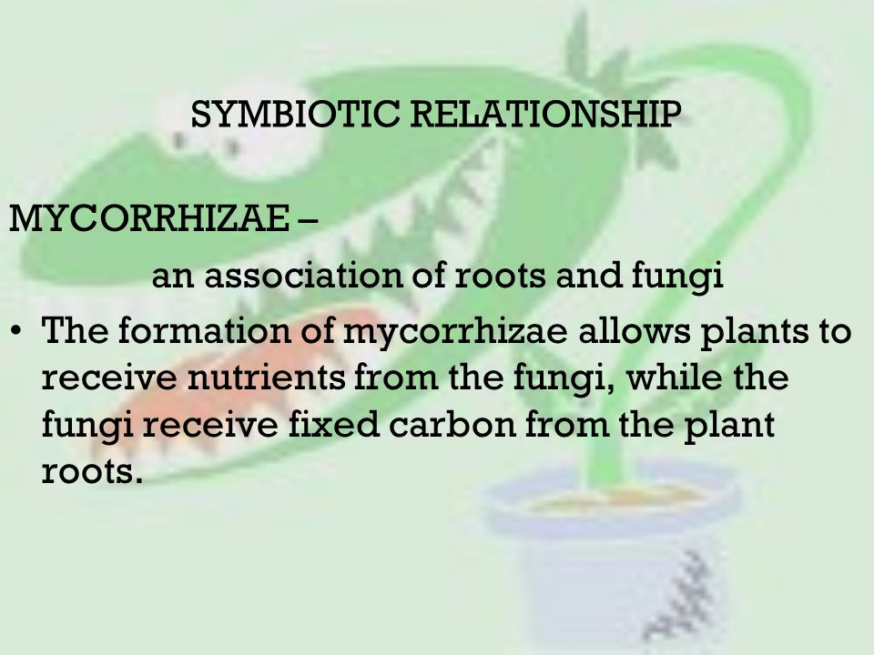 SYMBIOTIC RELATIONSHIP MYCORRHIZAE – an association of roots and fungi The formation of mycorrhizae allows plants to receive nutrients from the fungi, while the fungi receive fixed carbon from the plant roots.