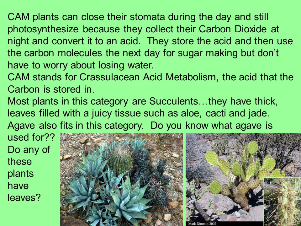 CAM plants can close their stomata during the day and still photosynthesize because they collect their Carbon Dioxide at night and convert it to an acid.