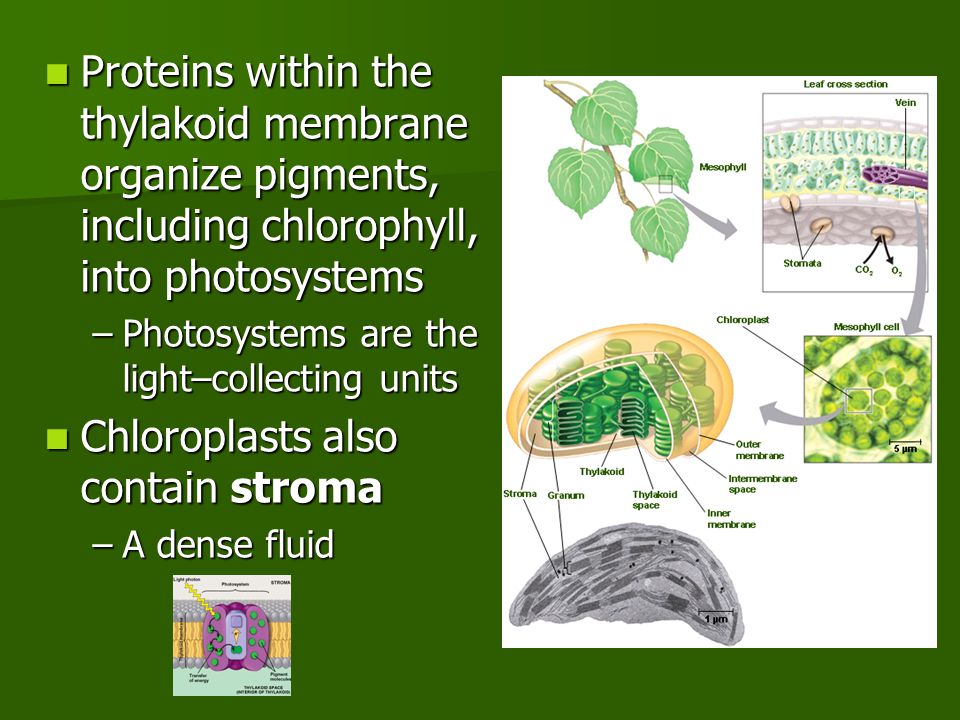 Proteins within the thylakoid membrane organize pigments, including chlorophyll, into photosystems Proteins within the thylakoid membrane organize pigments, including chlorophyll, into photosystems –Photosystems are the light–collecting units Chloroplasts also contain stroma Chloroplasts also contain stroma –A dense fluid