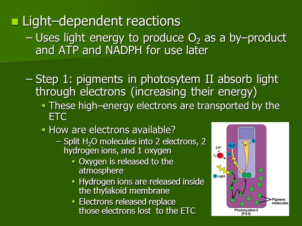 Light–dependent reactions Light–dependent reactions –Uses light energy to produce O 2 as a by–product and ATP and NADPH for use later –Step 1: pigment