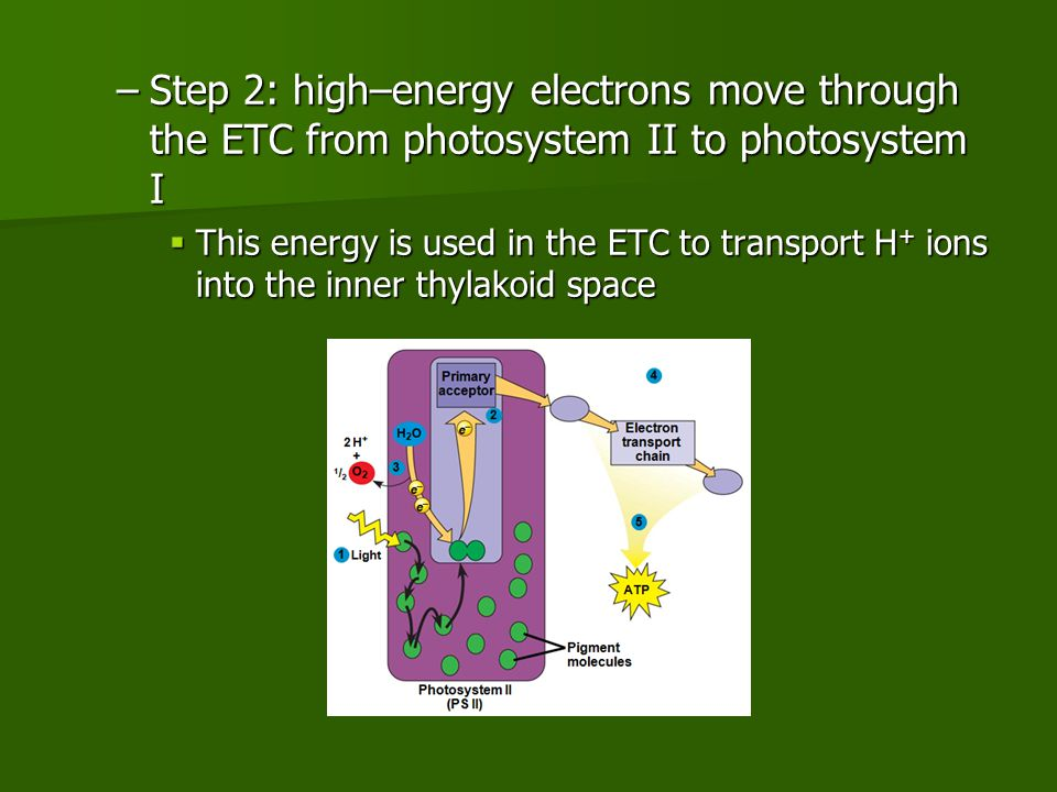 –Step 2: high–energy electrons move through the ETC from photosystem II to photosystem I  This energy is used in the ETC to transport H + ions into the inner thylakoid space