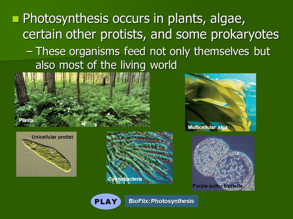 Photosynthesis occurs in plants, algae, certain other protists, and some prokaryotes Photosynthesis occurs in plants, algae, certain other protists, and some prokaryotes –These organisms feed not only themselves but also most of the living world BioFlix: Photosynthesis BioFlix: Photosynthesis Plants Multicellular alga Unicellular protist Cyanobacteria Purple sulfur bacteria