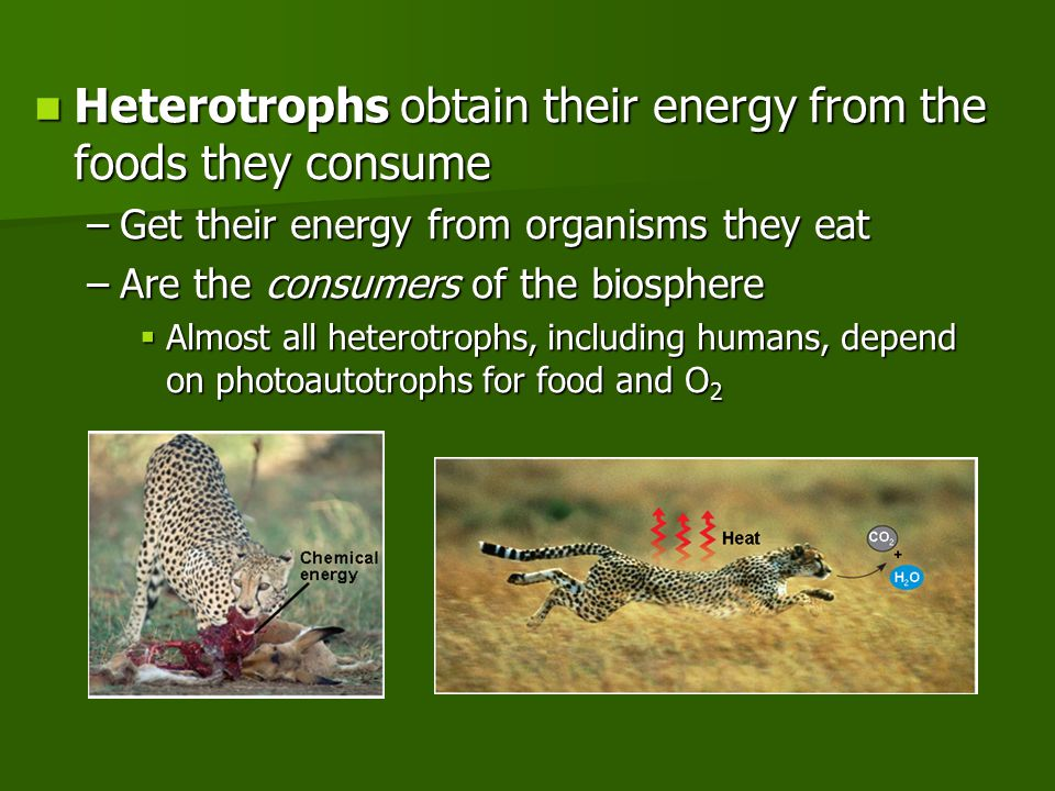 Heterotrophs obtain their energy from the foods they consume Heterotrophs obtain their energy from the foods they consume –Get their energy from organisms they eat –Are the consumers of the biosphere  Almost all heterotrophs, including humans, depend on photoautotrophs for food and O 2