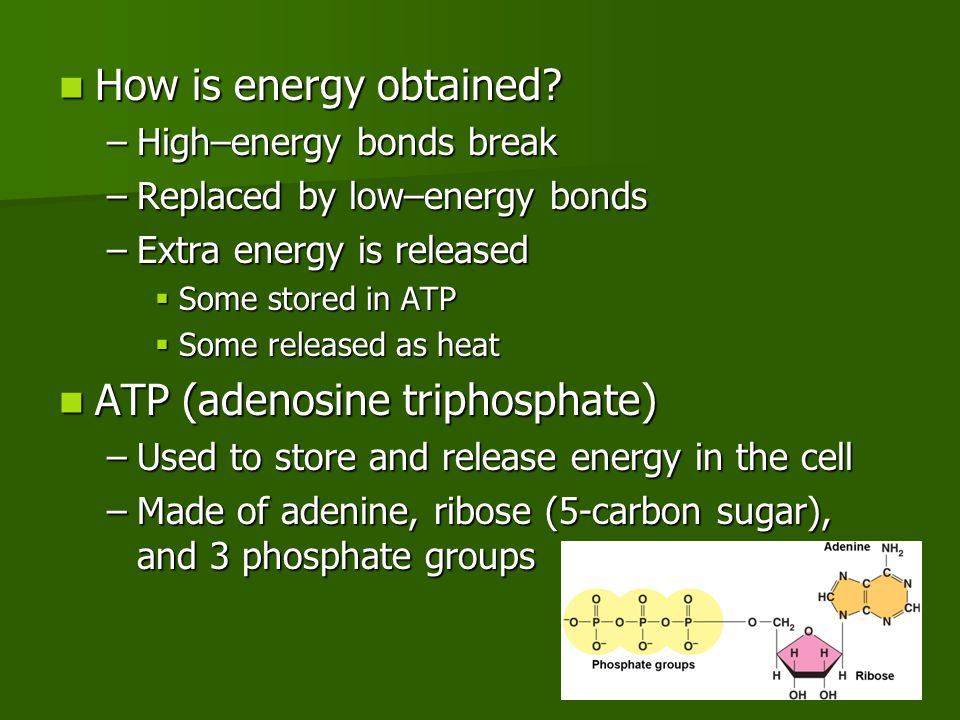 Calvin cycle Calvin cycle –Uses the energy of ATP and NADPH (short – term storage) to build high – energy compounds (sugars) for long time storage –Step 1: 6 CO 2 enter from the atmosphere combine with 3 – carbon (C) molecules to produce 12 3 – C molecules –Step 2: 12 3 – C molecules converted to high – energy forms through ATP and NADPH –Step 3: 2 3 – C molecules are removed from the 12 3 – C molecules  Used to make sugars among other compounds need by the plant for growth and metabolism –Step 4: 10 3 – C molecules converted back to the 6 5 – C molecules –The cycle continues The sugars made The sugars made –Used to meet the energy needs of the plant –Used to build complex macromolecules such as cellulose and starch 6 CO 2 6 C-C-C-C-C 12 C-C-C 2 C-C-C 10 C-C-C C-C-C-C-C-C glucose (sugar) 12 ATP 12 ADP 12 NADPH 12 NADP + 6 ATP 6 ADP