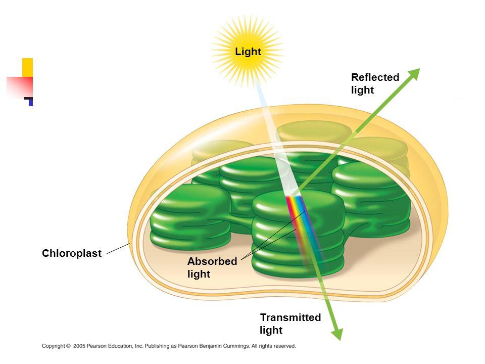 Light Reflected light Absorbed light Chloroplast Transmitted light