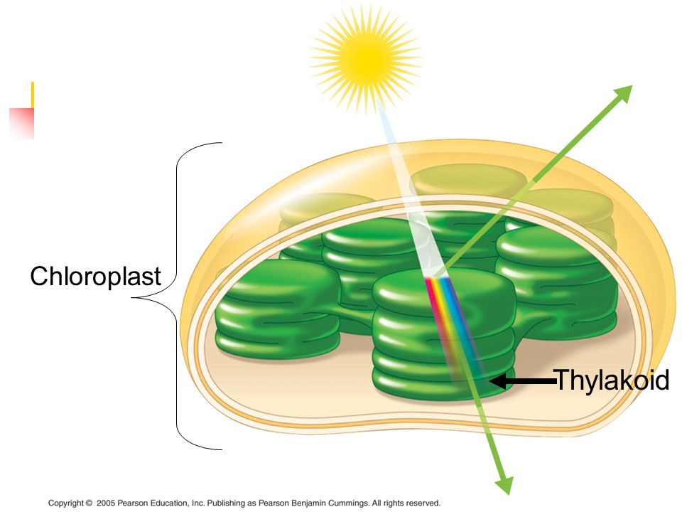 Stage 1: Light Reactions The light reaction takes place in the thylakoid (disc inside the chloroplast Chloroplast Thylakoid