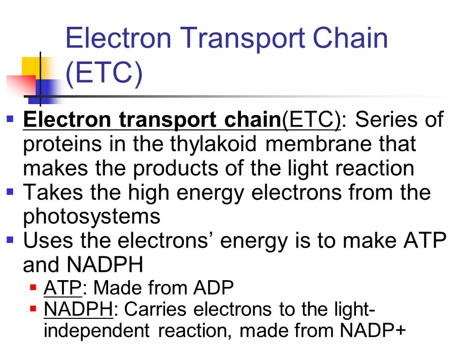 Electron Transport Chain (ETC)  Electron transport chain(ETC): Series of proteins in the thylakoid membrane that makes the products of the light reaction  Takes the high energy electrons from the photosystems  Uses the electrons' energy is to make ATP and NADPH  ATP: Made from ADP  NADPH: Carries electrons to the light- independent reaction, made from NADP+