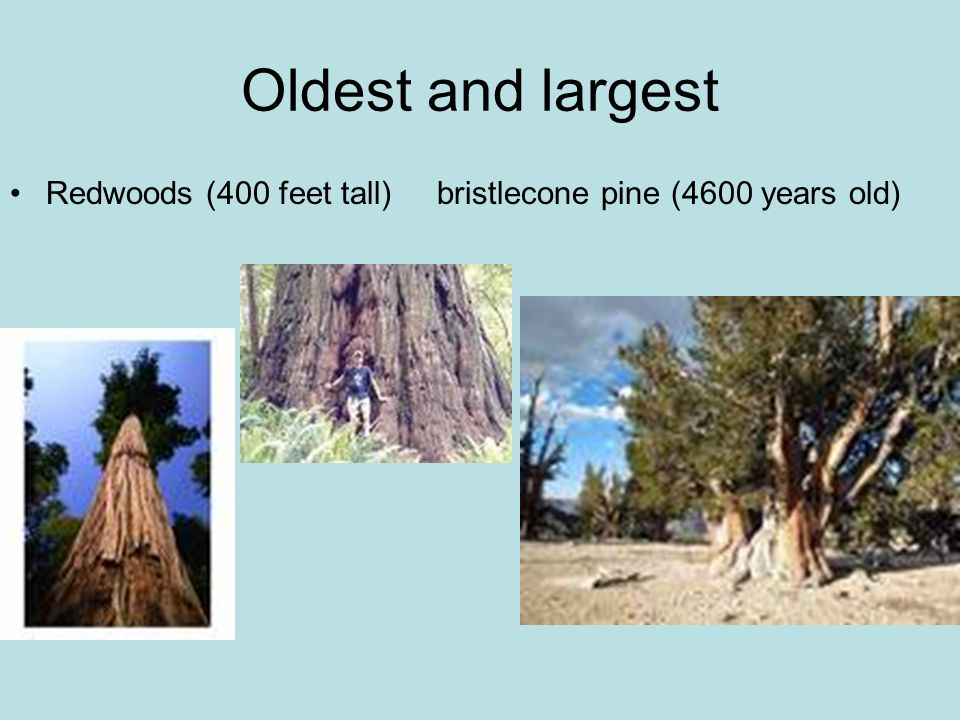Oldest and largest Redwoods (400 feet tall) bristlecone pine (4600 years old)