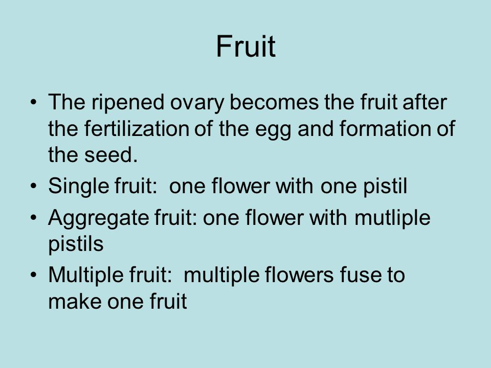 Fruit The ripened ovary becomes the fruit after the fertilization of the egg and formation of the seed.