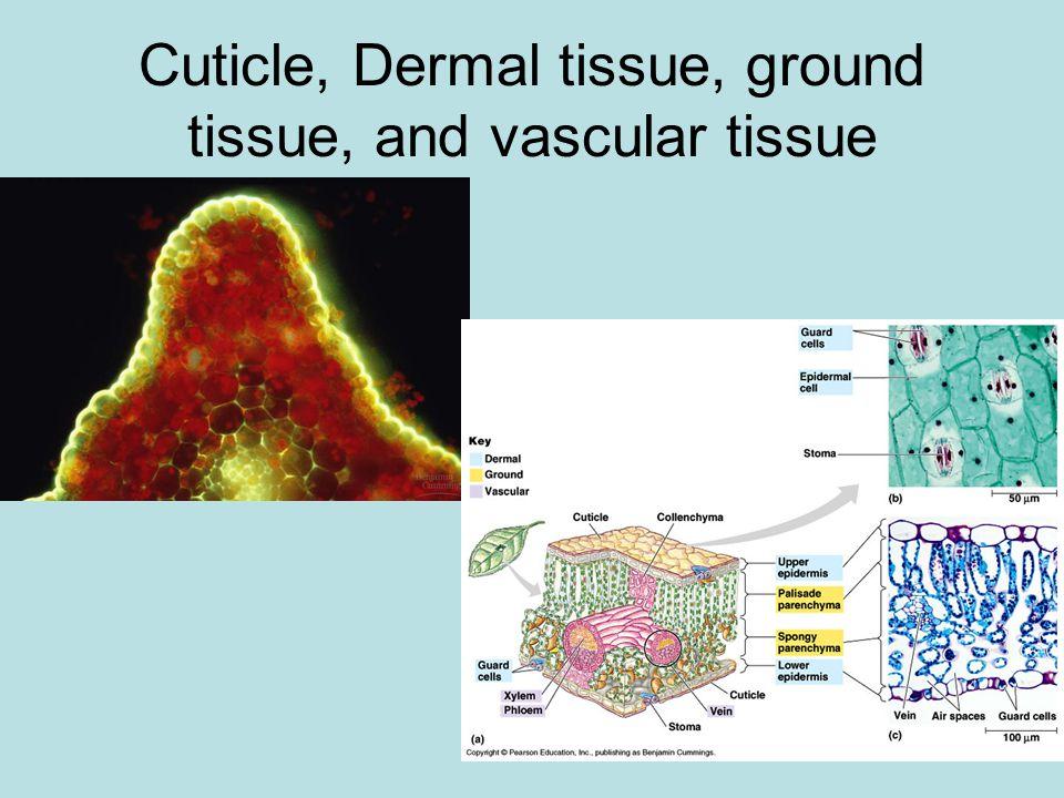 Cuticle, Dermal tissue, ground tissue, and vascular tissue