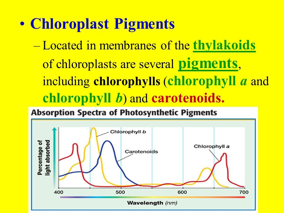 Chloroplast Pigments –Located in membranes of the thylakoids of chloroplasts are several pigments, including chlorophylls ( chlorophyll a and chloroph